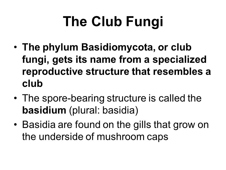 The Club Fungi The phylum Basidiomycota, or club fungi, gets its name from a specialized reproductive structure that resembles a club The spore-bearin