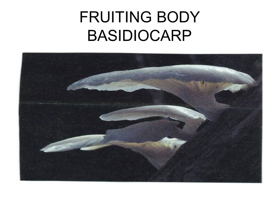 FRUITING BODY BASIDIOCARP