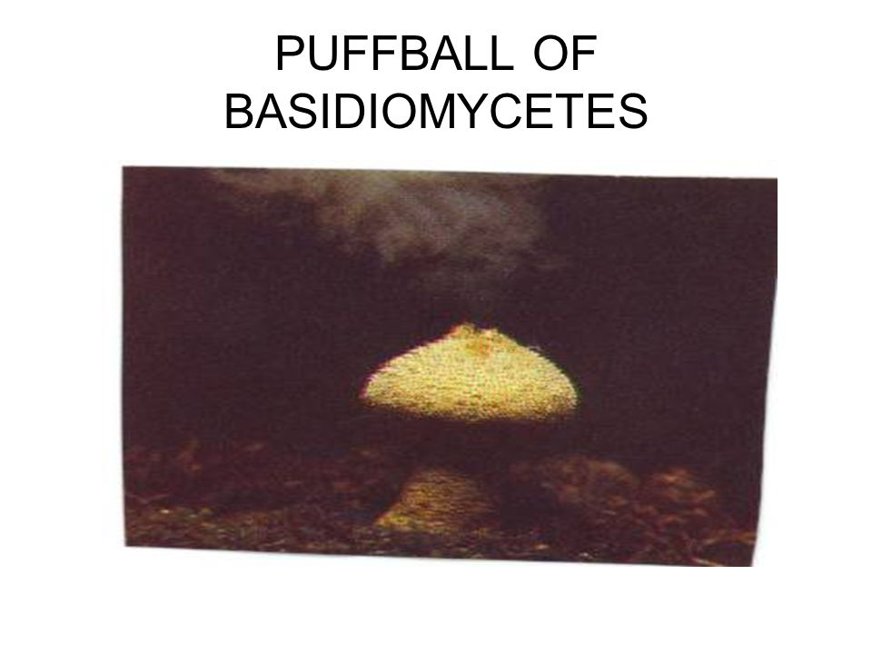PUFFBALL OF BASIDIOMYCETES