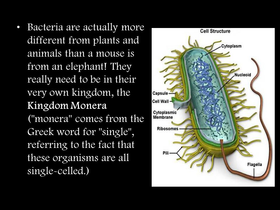 Bacteria are actually more different from plants and animals than a mouse is from an elephant! They really need to be in their very own kingdom, the K