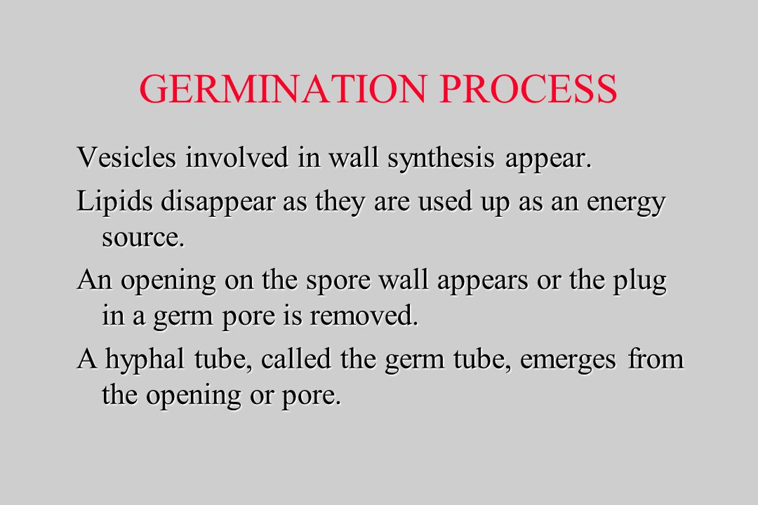 GERMINATION PROCESS Vesicles involved in wall synthesis appear.