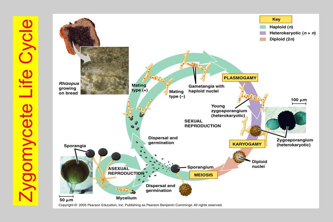 Zygomycete Life Cycle