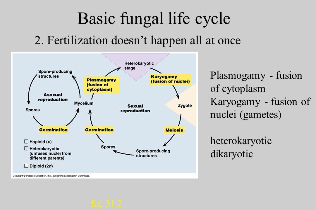 Basic fungal life cycle fig.31.2 2.