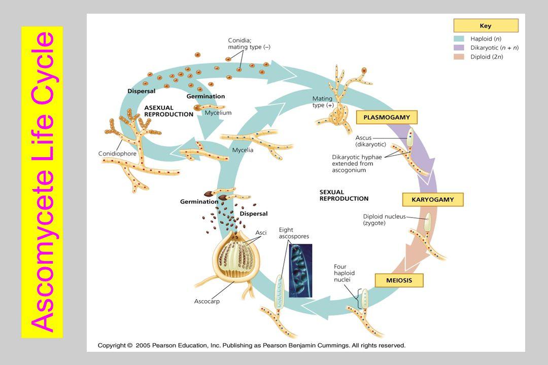 Ascomycete Life Cycle