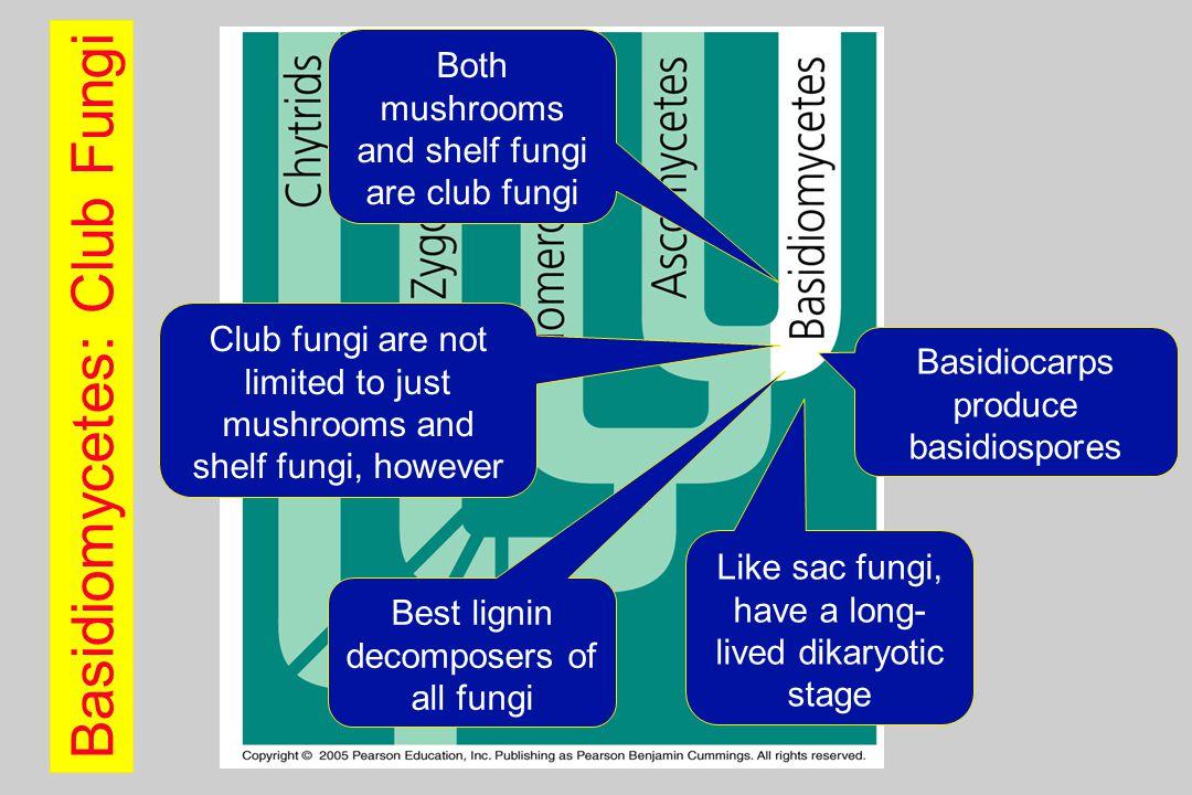 Basidiomycetes: Club Fungi Both mushrooms and shelf fungi are club fungi Club fungi are not limited to just mushrooms and shelf fungi, however Best lignin decomposers of all fungi Like sac fungi, have a long- lived dikaryotic stage Basidiocarps produce basidiospores