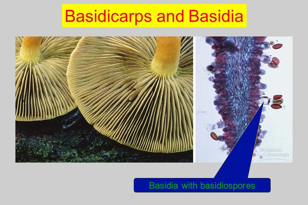 Basidicarps and Basidia Basidia with basidiospores