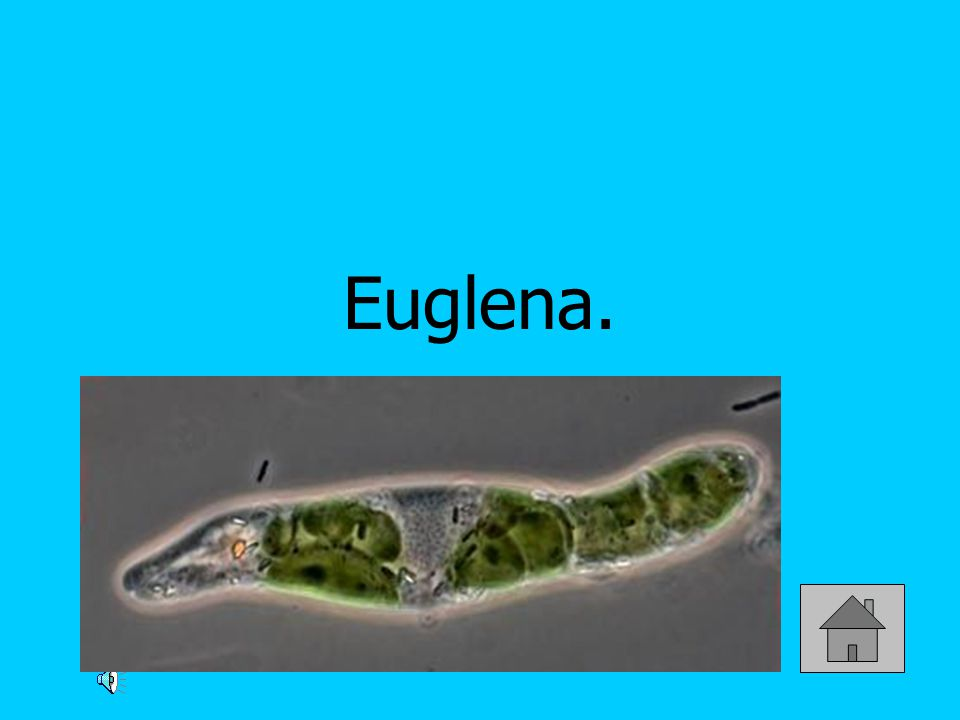 What animal-like characteristic does a euglena have? HINT: food source