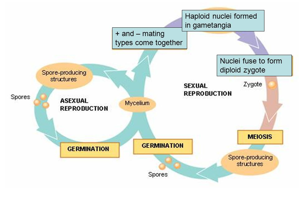 + and – mating types come together Nuclei fuse to form diploid zygote Haploid nuclei formed in gametangia