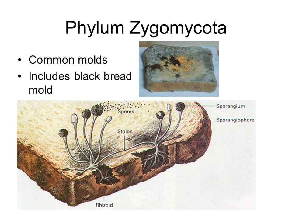 Phylum Zygomycota Common molds Includes black bread mold