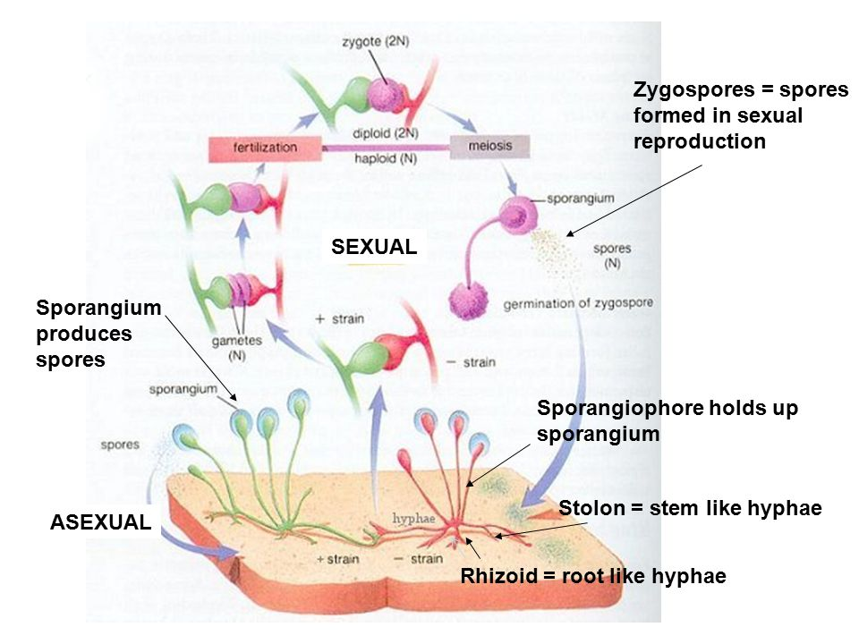 Zygospores = spores formed in sexual reproduction Stolon = stem like hyphae Sporangium produces spores Sporangiophore holds up sporangium ASEXUAL SEXUAL Rhizoid = root like hyphae