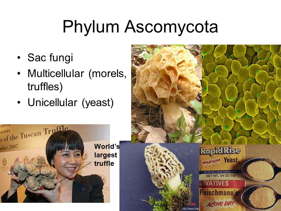 Phylum Ascomycota Sac fungi Multicellular (morels, truffles) Unicellular (yeast) World's largest truffle