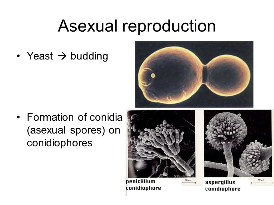 Asexual reproduction Yeast  budding Formation of conidia (asexual spores) on conidiophores