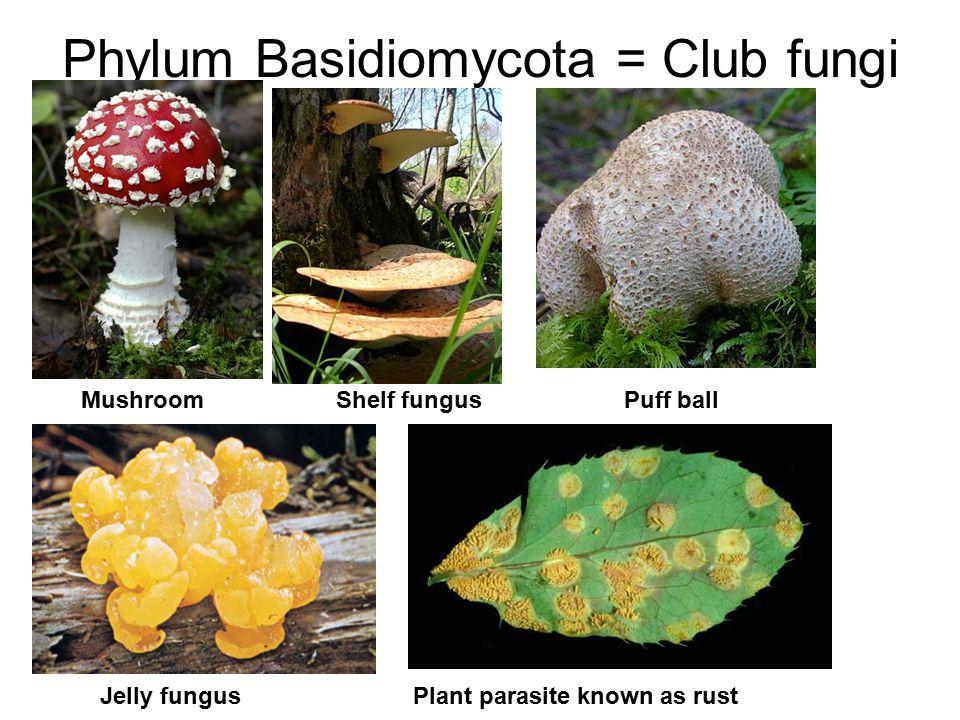 Phylum Basidiomycota = Club fungi MushroomShelf fungusPuff ball Jelly fungus Plant parasite known as rust