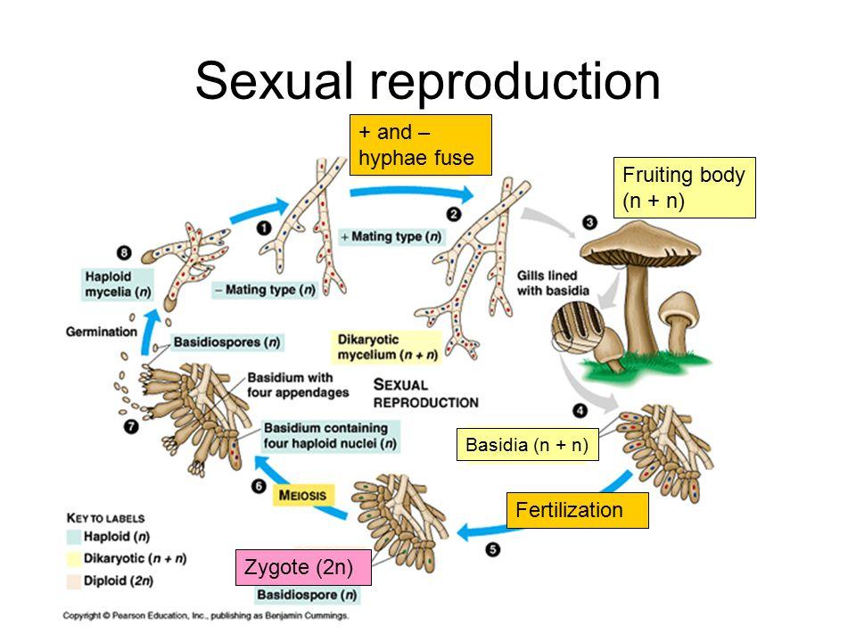 Sexual reproduction Fruiting body (n + n) + and – hyphae fuse Basidia (n + n) Zygote (2n) Fertilization