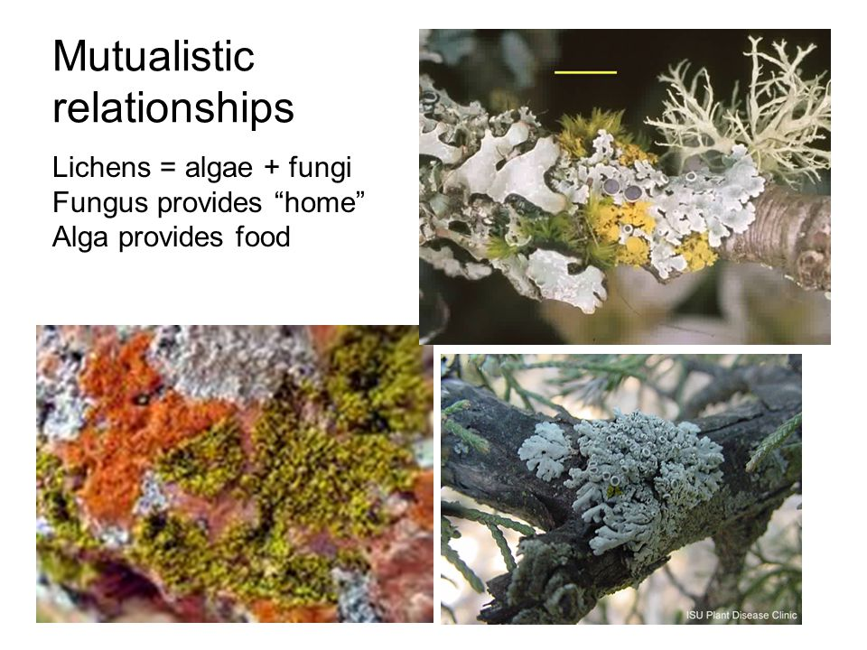 "Mutualistic relationships Lichens = algae + fungi Fungus provides ""home"" Alga provides food"