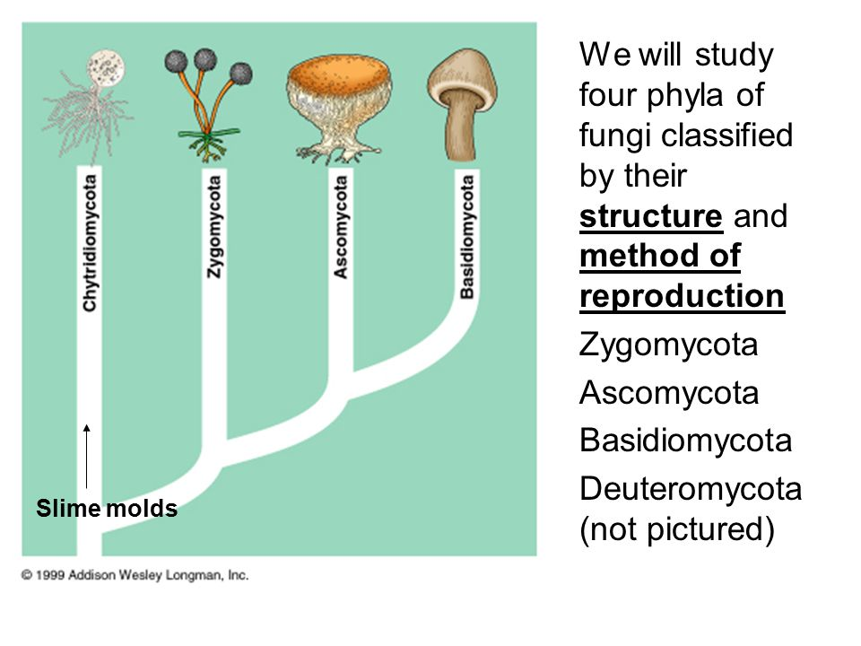 We will study four phyla of fungi classified by their structure and method of reproduction Zygomycota Ascomycota Basidiomycota Deuteromycota (not pictured) Slime molds