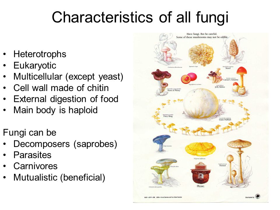 Characteristics of all fungi Heterotrophs Eukaryotic Multicellular (except yeast) Cell wall made of chitin External digestion of food Main body is haploid Fungi can be Decomposers (saprobes) Parasites Carnivores Mutualistic (beneficial)