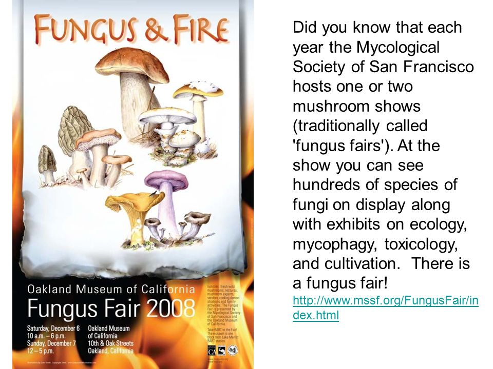 Did you know that each year the Mycological Society of San Francisco hosts one or two mushroom shows (traditionally called fungus fairs ).