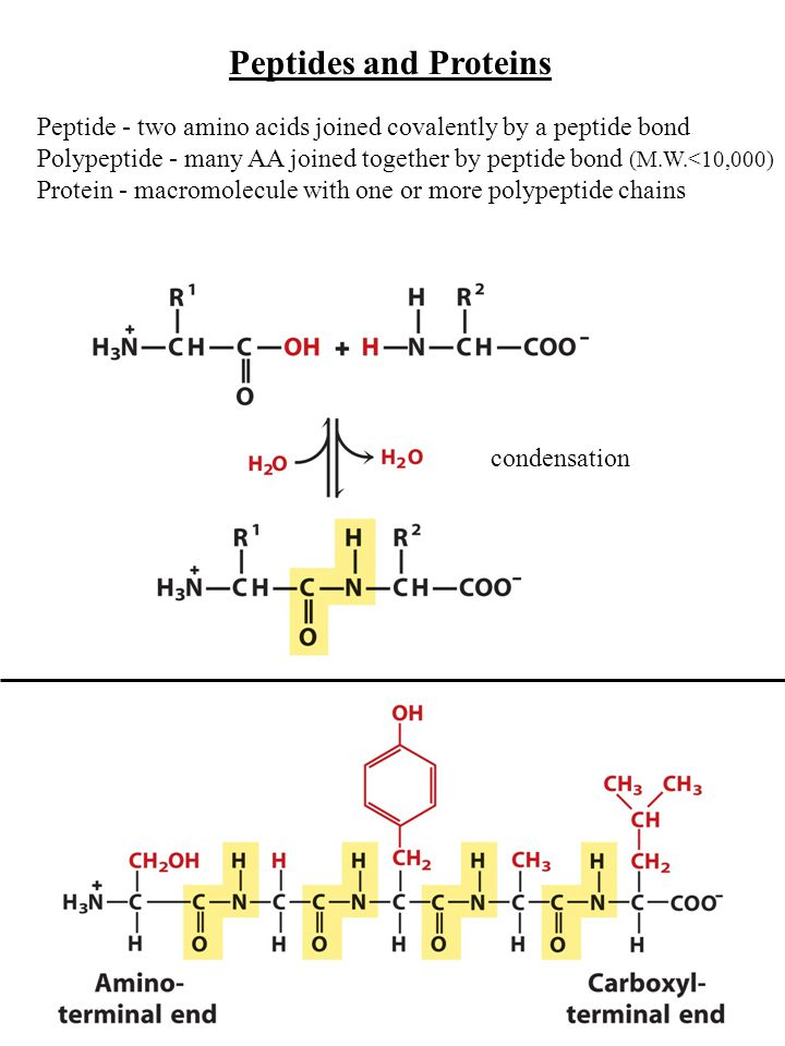 Peptides and Proteins Peptide - two amino acids joined covalently by a peptide bond Polypeptide - many AA joined together by peptide bond (M.W.<10,000) Protein - macromolecule with one or more polypeptide chains condensation