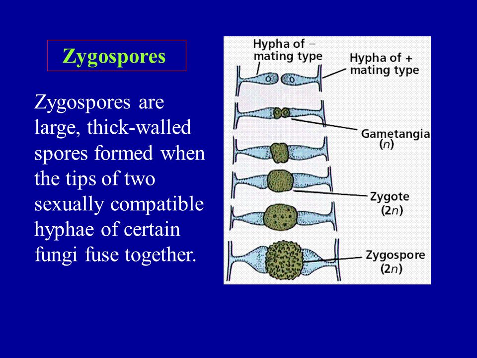 Zygospores are large, thick-walled spores formed when the tips of two sexually compatible hyphae of certain fungi fuse together. Zygospores