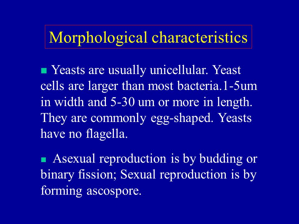 Morphological characteristics Yeasts are usually unicellular. Yeast cells are larger than most bacteria.1-5um in width and 5-30 um or more in length.