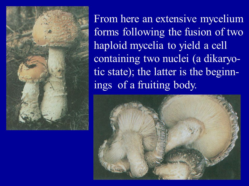 From here an extensive mycelium forms following the fusion of two haploid mycelia to yield a cell containing two nuclei (a dikaryo- tic state); the la