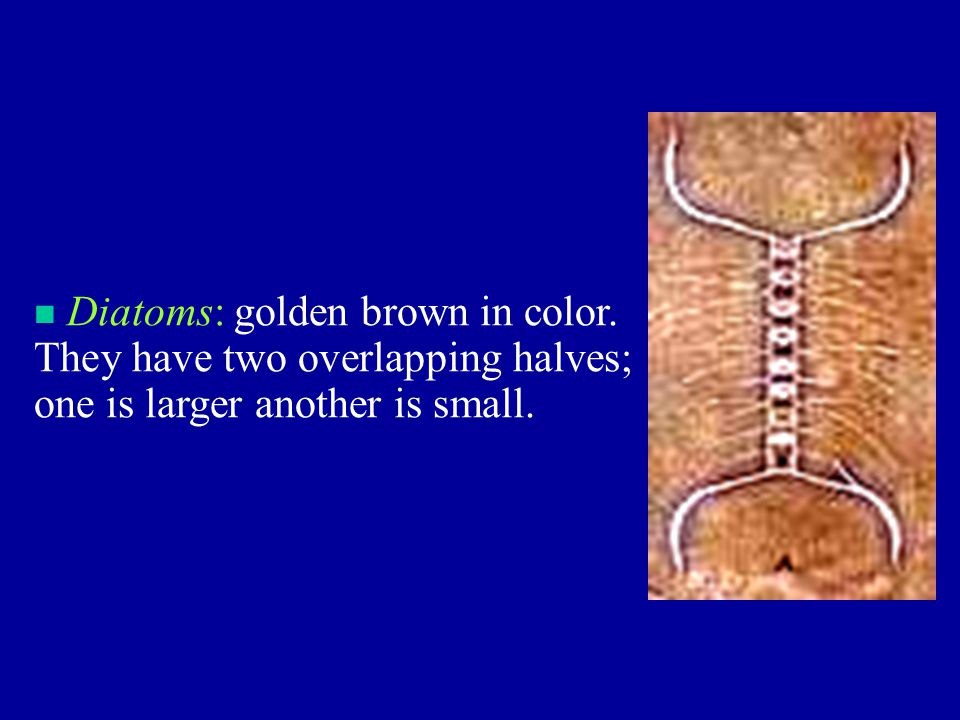 n Diatoms: golden brown in color. They have two overlapping halves; one is larger another is small.