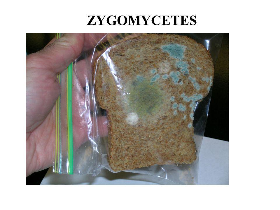 43 Phycomyces 44 OTHER ZYGOMYCETES: Teleomorph Zygorhynchus