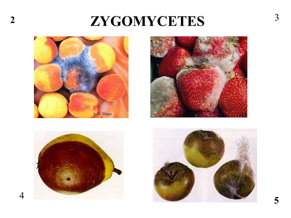 1 http://treediseases.coafes.umn.edu/image/Bread%20mold.JPG 2 http://www.caf.wvu.edu/kearneysville/disease_descriptions/disease_images/ ab25.jpg 3 http://kentsimmons.uwinnipeg.ca/16cm05/1116/31-06-Rhizophus.jpg 4 http://postharvest.tfrec.wsu.edu/marketdiseases/Pears/pearrhizo.jpg 5 http://postharvest.tfrec.wsu.edu/marketdiseases/Apples/rhizo.jpg 6 http://www.carnicom.com/MOLD96B.JPG 8 http://microbewiki.kenyon.edu/images/3/3f/31-07-ZygomyceteLifeCyc-L.jpg 9 http://faculty.clintoncc.suny.edu/faculty/michael.gregory/files/ Bio%20102/Bio%20102%20lectures/fungi/rhizopus_sporangia_X_40.jpg 11 http://microbewiki.kenyon.edu/images/3/3f/31-07-ZygomyceteLifeCyc-L.jpg 7 http://faculty.clintoncc.suny.edu/faculty/michael.gregory/files/Bio%20102/ Bio%20102%20lectures/fungi/rhizopus_sporangia_X_40.jpg 10 http://filebox.vt.edu/users/chagedor/biol_4684/Microbes/rhizopus.jpg