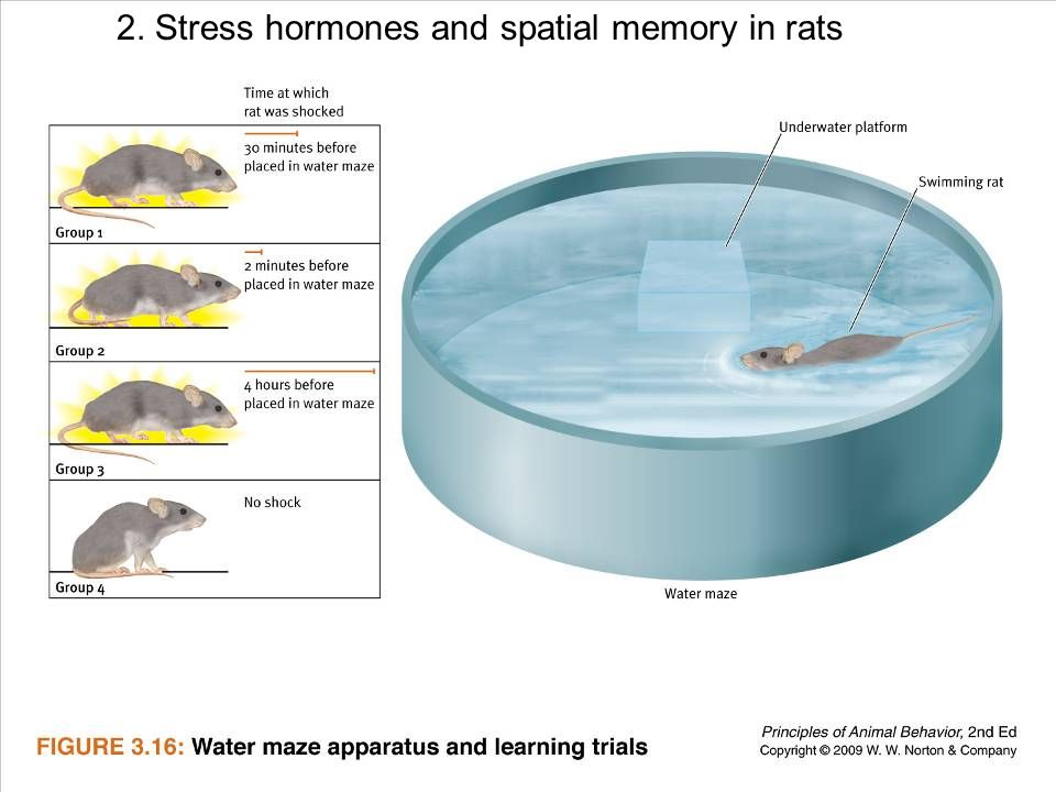2. Stress hormones and spatial memory in rats