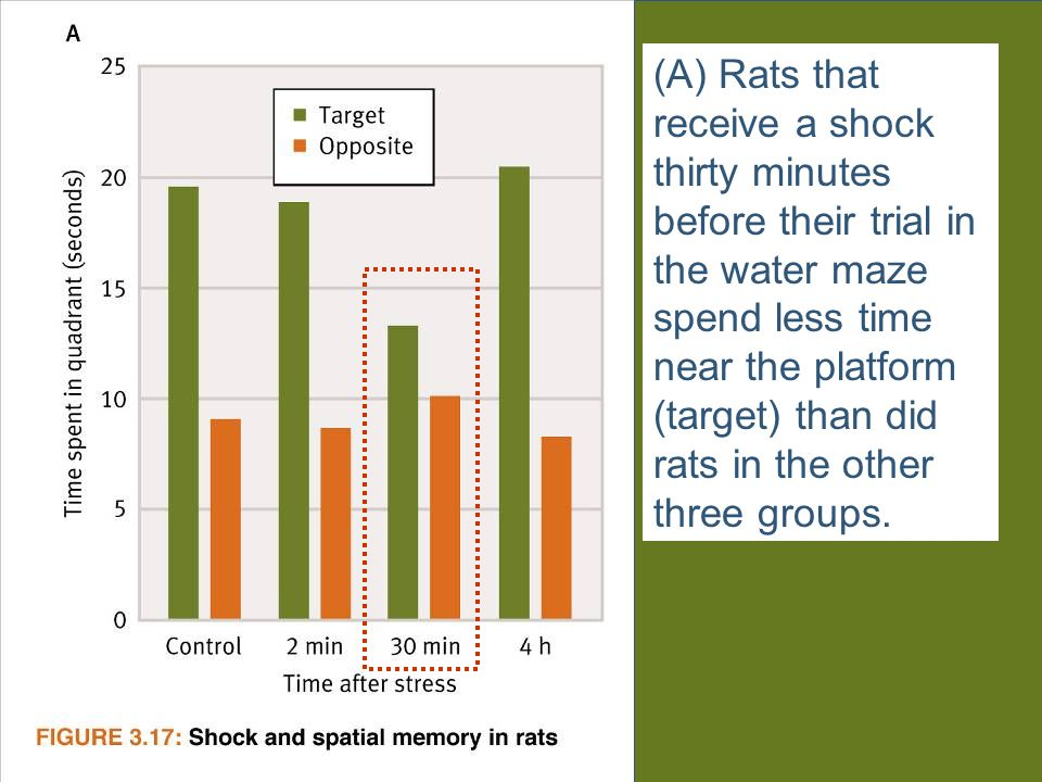 (A) Rats that receive a shock thirty minutes before their trial in the water maze spend less time near the platform (target) than did rats in the other three groups.