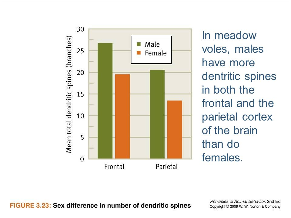 In meadow voles, males have more dentritic spines in both the frontal and the parietal cortex of the brain than do females.