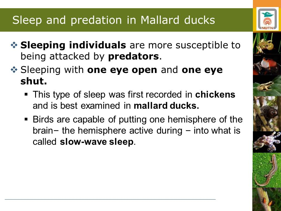 Sleep and predation in Mallard ducks  Sleeping individuals are more susceptible to being attacked by predators.