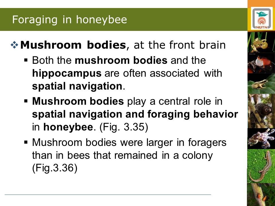 Foraging in honeybee  Mushroom bodies, at the front brain  Both the mushroom bodies and the hippocampus are often associated with spatial navigation.