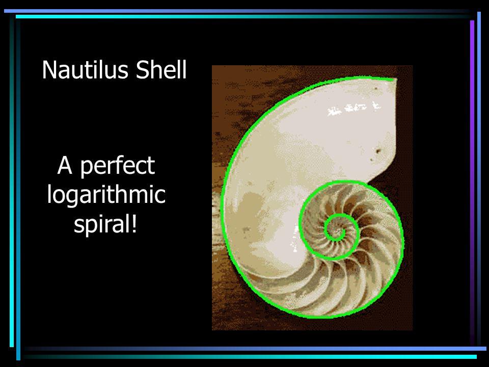 Nautilus Shell A perfect logarithmic spiral!