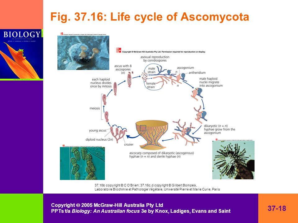 37-18 Copyright  2005 McGraw-Hill Australia Pty Ltd PPTs t/a Biology: An Australian focus 3e by Knox, Ladiges, Evans and Saint Fig.
