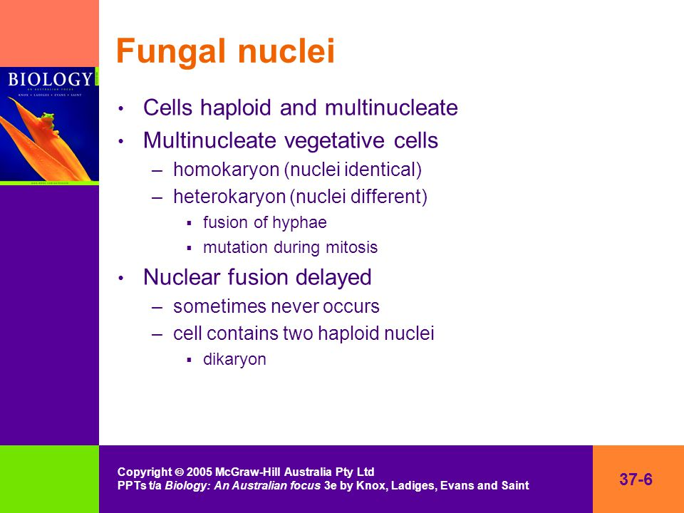 37-6 Copyright  2005 McGraw-Hill Australia Pty Ltd PPTs t/a Biology: An Australian focus 3e by Knox, Ladiges, Evans and Saint Fungal nuclei Cells haploid and multinucleate Multinucleate vegetative cells –homokaryon (nuclei identical) –heterokaryon (nuclei different)  fusion of hyphae  mutation during mitosis Nuclear fusion delayed –sometimes never occurs –cell contains two haploid nuclei  dikaryon
