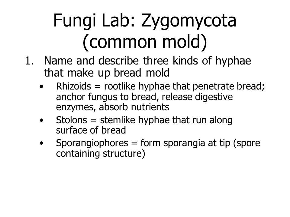 2.Sketch and label sporangia and hyphae 3. Function of sporangia Produce spores 4.