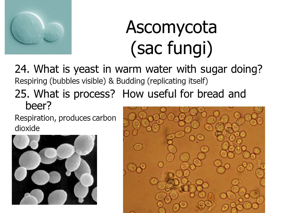Ascomycota (sac fungi) 24. What is yeast in warm water with sugar doing.
