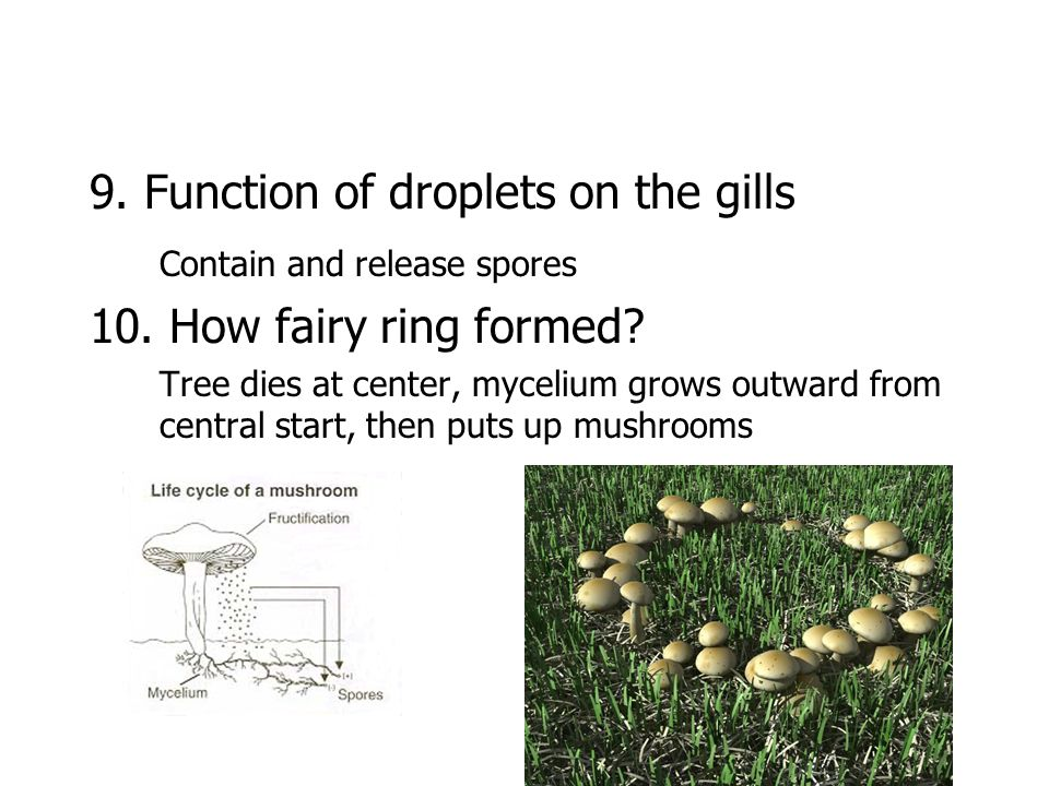 9. Function of droplets on the gills Contain and release spores 10.