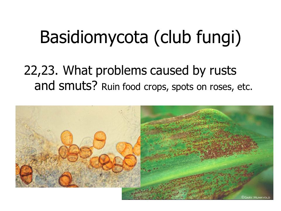 Basidiomycota (club fungi) 22,23. What problems caused by rusts and smuts.