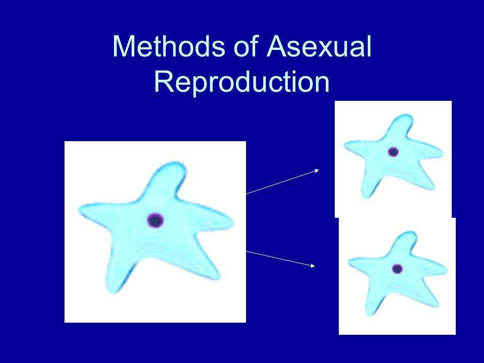 Asexual Reproduction - results from mitotic cell division (mitosis).
