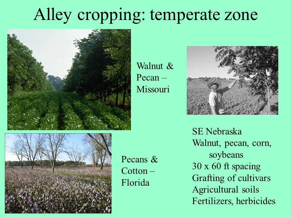 Alley cropping: temperate zone SE Nebraska Walnut, pecan, corn, soybeans 30 x 60 ft spacing Grafting of cultivars Agricultural soils Fertilizers, herb