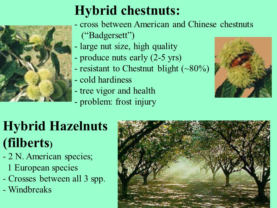"""Hybrid chestnuts: - cross between American and Chinese chestnuts (""""Badgersett"""") - large nut size, high quality - produce nuts early (2-5 yrs) - resist"""