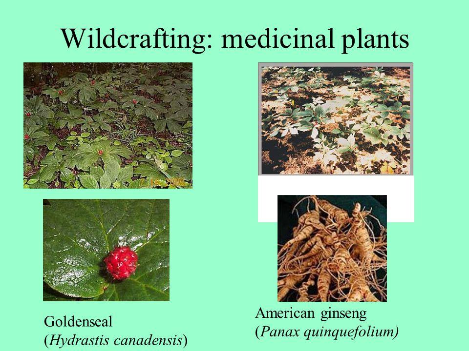 Wildcrafting: medicinal plants American ginseng (Panax quinquefolium) Goldenseal (Hydrastis canadensis)