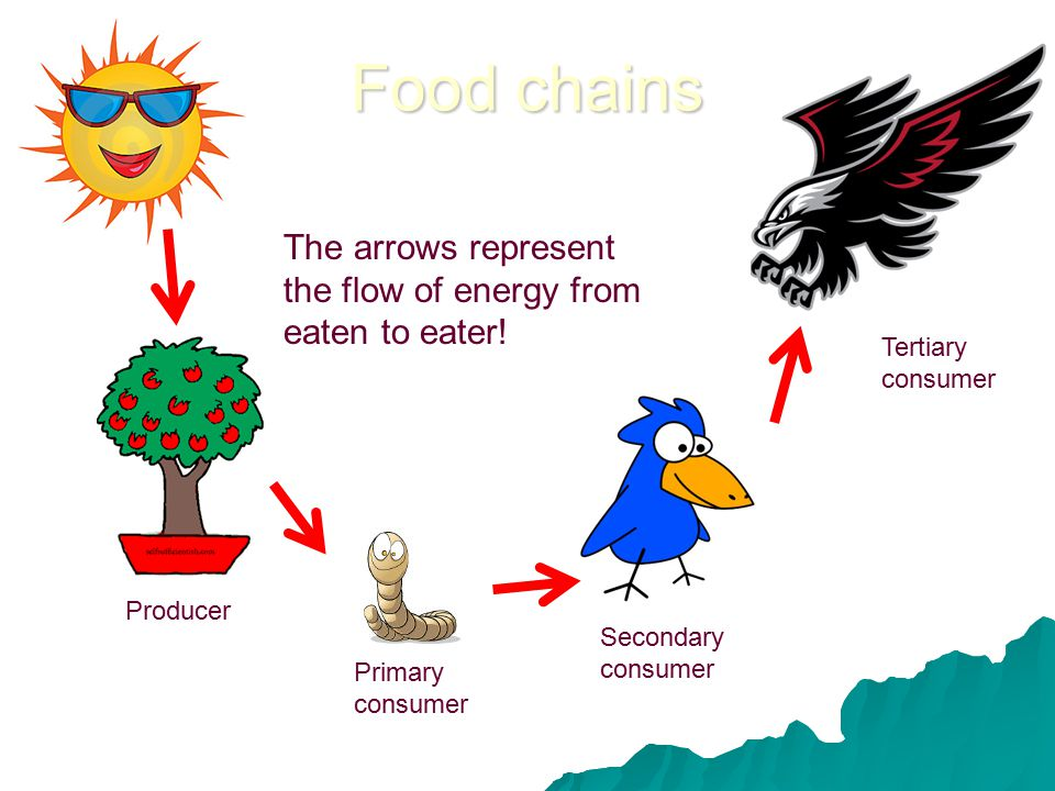 Food chains Producer Primary consumer Secondary consumer Tertiary consumer The arrows represent the flow of energy from eaten to eater!