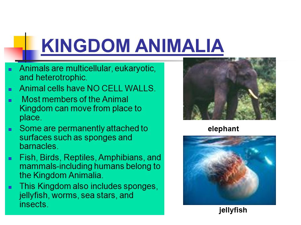 KINGDOM ANIMALIA Animals are multicellular, eukaryotic, and heterotrophic. Animal cells have NO CELL WALLS. Most members of the Animal Kingdom can mov