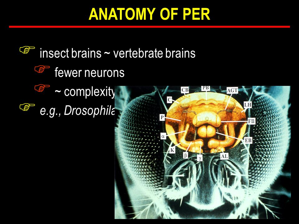 F insect brains ~ vertebrate brains F fewer neurons F ~ complexity F e.g., Drosophila ANATOMY OF PER