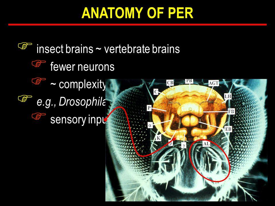 F insect brains ~ vertebrate brains F fewer neurons F ~ complexity F e.g., Drosophila F sensory input ANATOMY OF PER