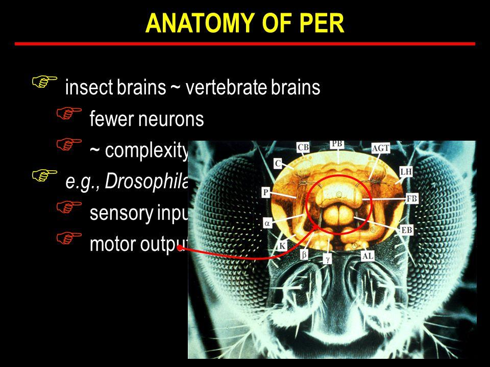 F insect brains ~ vertebrate brains F fewer neurons F ~ complexity F e.g., Drosophila F sensory input F motor output ANATOMY OF PER